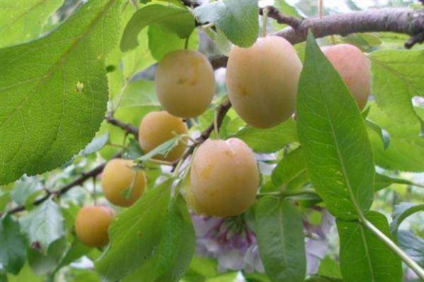 О сливе память тимирязева: описание сорта, агротехника выращивания