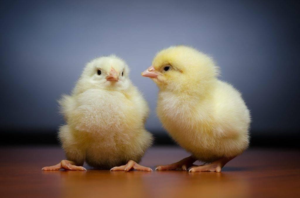 Зачем куры поедают мелкие камешки? зачем куры поедают мелкие камешки?  для сохранения... - ответ по животные и растения