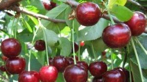Вишня харитоновская – 7 особенностей и 10 советов по выращиванию и уходу