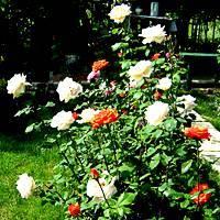 4 чудодейственных рецепта, чем подкормить розы в августе.