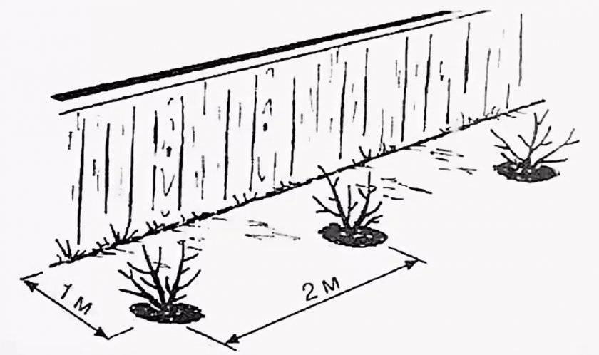 Смородина: как и когда пересадить, чтобы не навредить растению и сохранить урожай