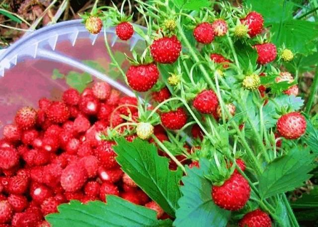Земляника али-баба: выращиваем душистую ягоду в саду