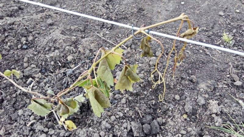 Как правильно открывать виноград весной после зимовки
