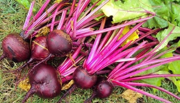 Что сажать после свеклы на следующий год, после каких культур можно ее выращивать, какие овощи лучше размещать рядом с ней на одной грядке, а также таблица растений