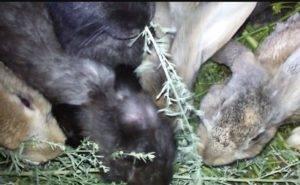 Можно ли давать полынь кроликам, полезные свойства растения, правила безопасности и смешивание с другими видами корма.