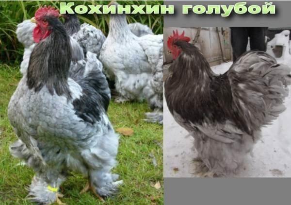 Куры кохинхин: описание породы, фото, отзывы, яйценоскость