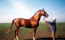 Помесь быка и лошади