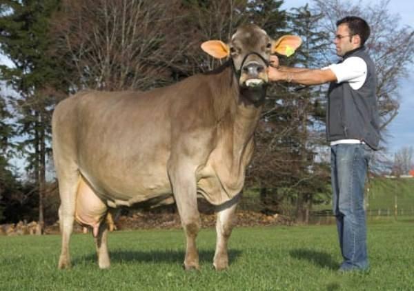 Корова швицкой породы: характеристика, описание, отзывы, плюсы и минусы