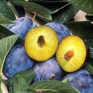 Слива анна шпет: описание и фото, подробные характеристики и особенности выращивания