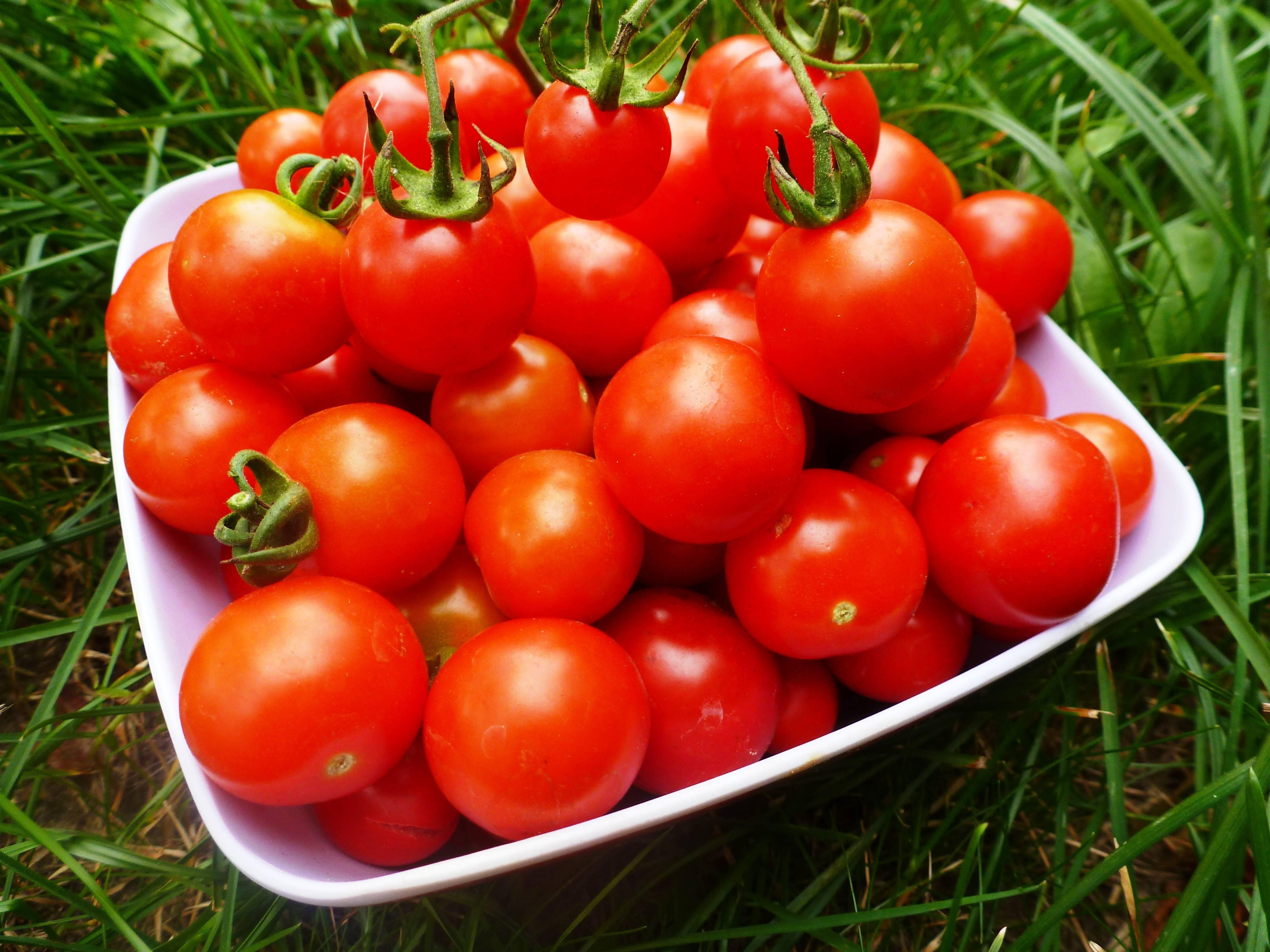 На каком расстоянии сажать помидоры в теплице и открытом грунте (схемы)