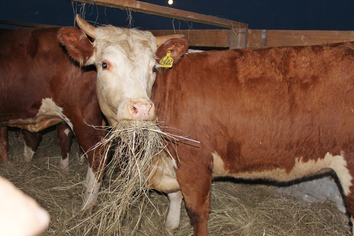 Сколько надо сена корове в год