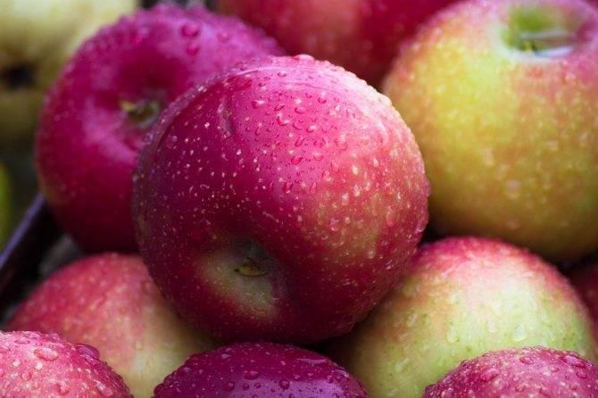 Лучшие зимние сорта яблок и их описание