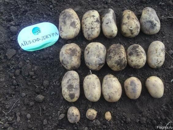 Картофель красавчик: описание, особенности выращивания и ухода за сортом