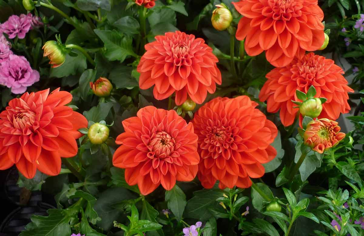 Георгины: описание и правила выращивания