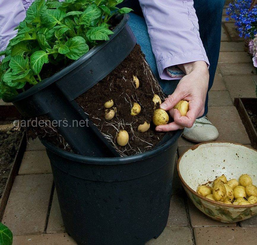 Новые способы посадки и ухода за картофелем: китайский, выращивание в коробах, ведрах, по митлайдеру, по картелеву, из ростков, под укрывным материалом и иные методы