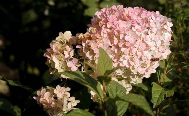 Гортензия метельчатая hydrangea paniculata magical sweet summer
