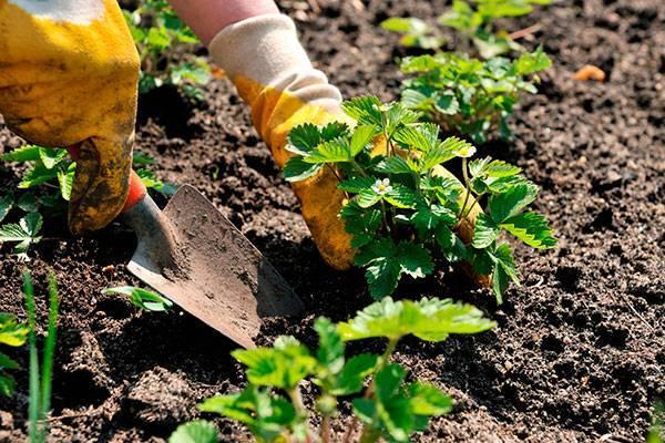 После каких культур посадить клубнику осенью: выбираем идеальных предшественников и соседей