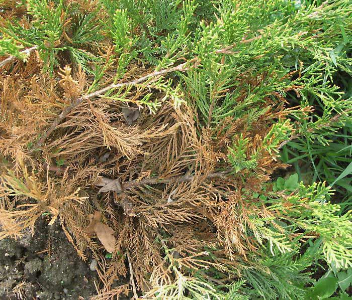 Можжевельники: болезни и лечение. почему сохнет можжевельник можжевельник высох что делать