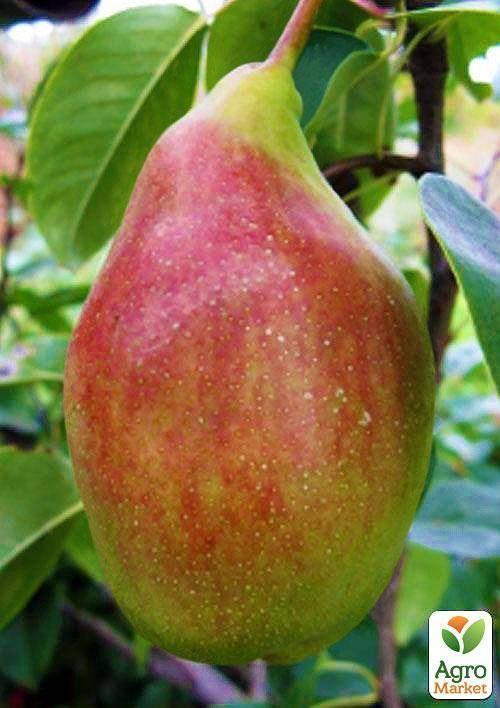 Груша велеса: неприхотливый и вкусный сорт для центрального региона россии