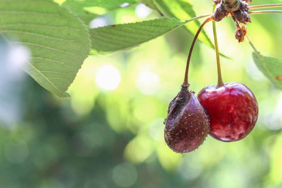 Коккомикоз вишни и черешни: меры борьбы — препараты для защиты и лечения
