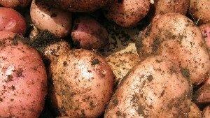 Ранние сорта картофеля: описание и особенности сортов