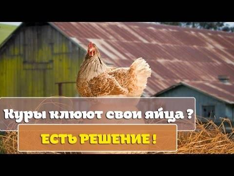 Куры клюют яйца, что делать? причины и способы борьбы с расклевом яиц