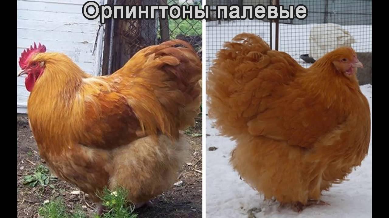 Куры орпингтон (38 фото): описание породы. особенности палевых цыплят, уход и кормление, отзывы владельцев