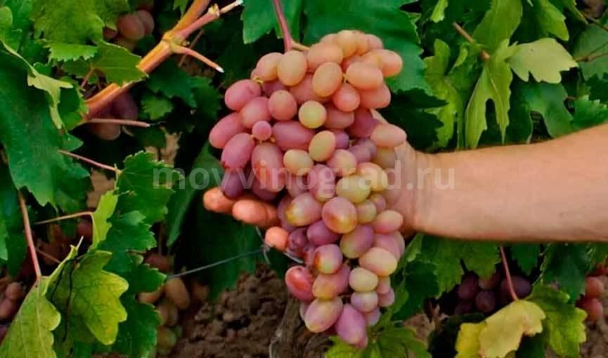 Виноград преображение: описание сорта