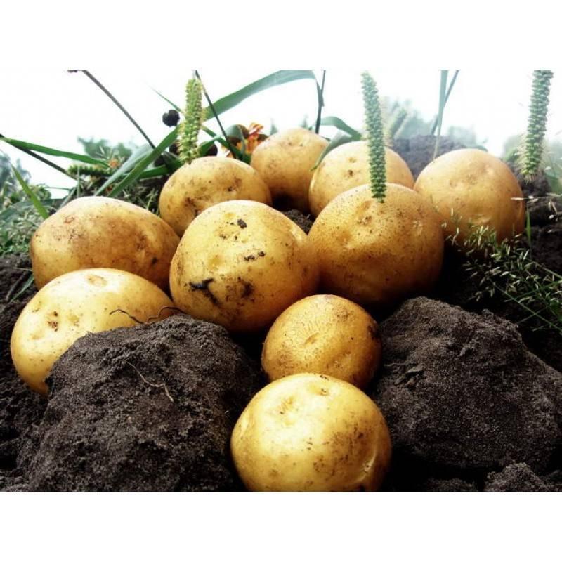 Сорт картофеля «гала»: характеристика, урожайность, отзывы и фото
