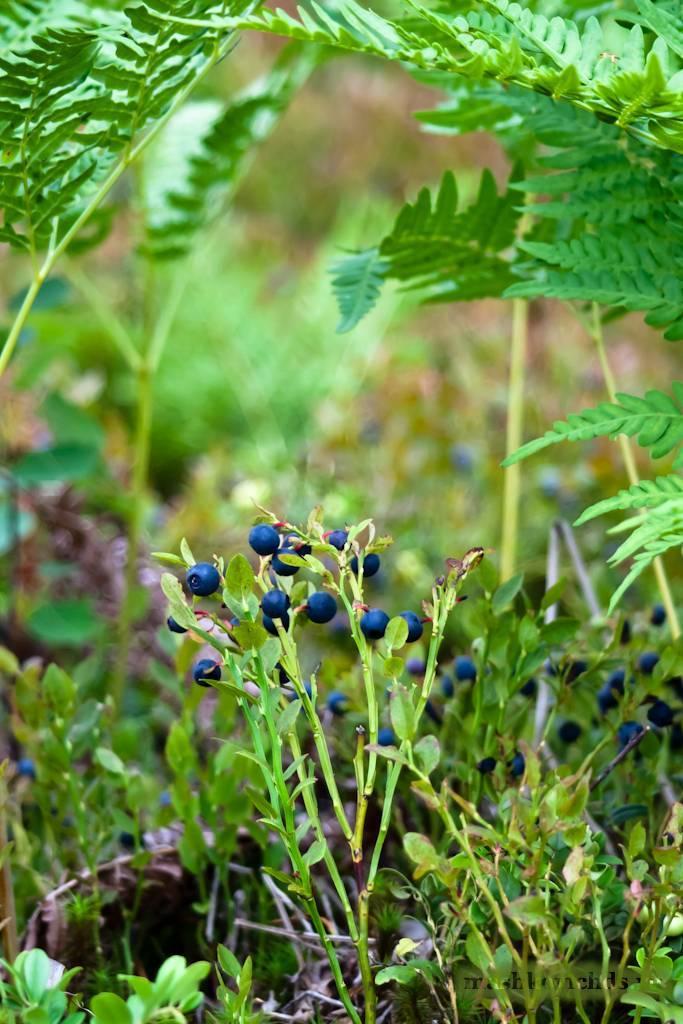 Черника – традиционное лекарственное растение