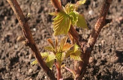 На, какой год после посадки плодоносит виноград. сорта