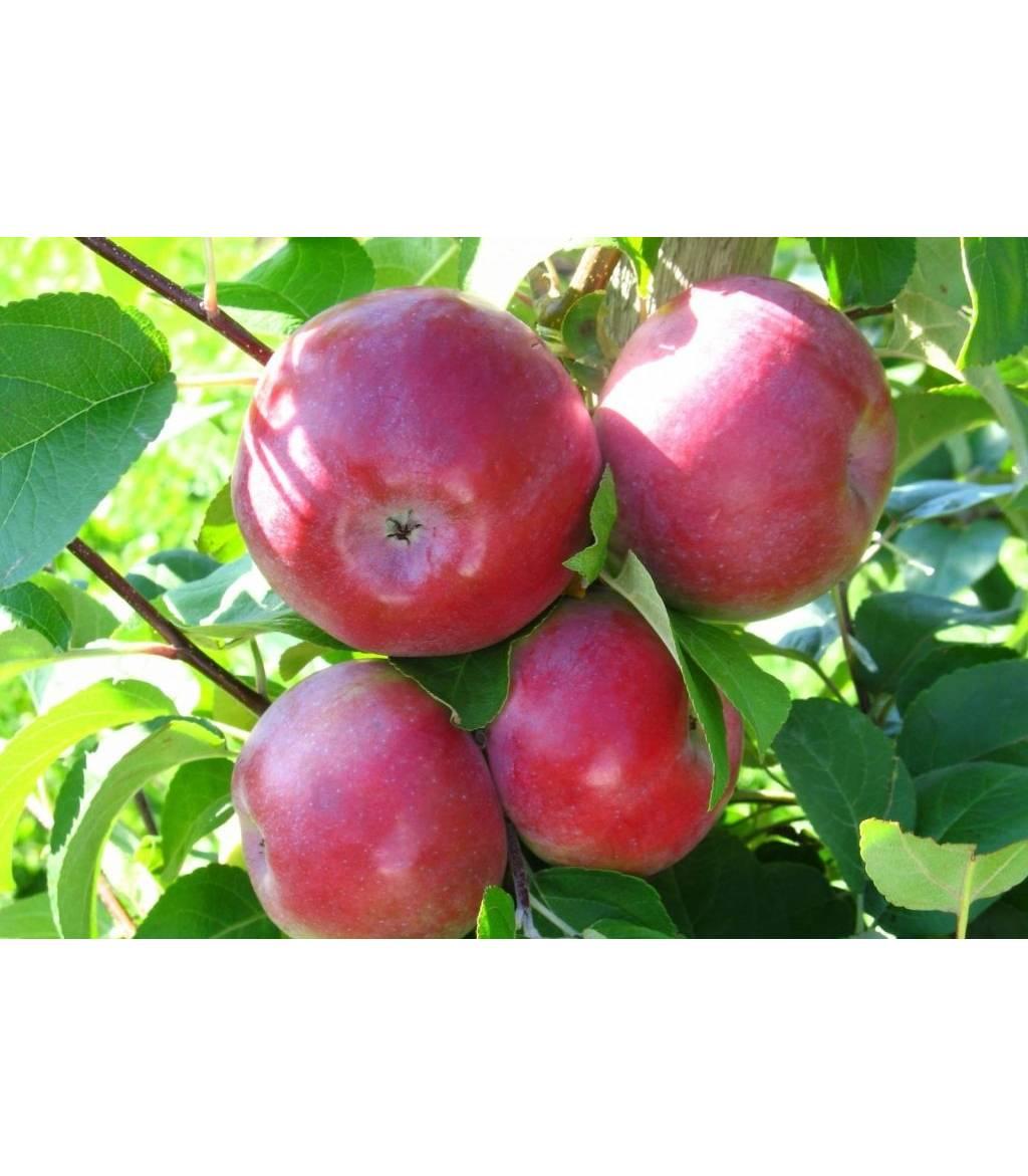Яблоня лобо - особенности популярного сорта, важные правила посадки