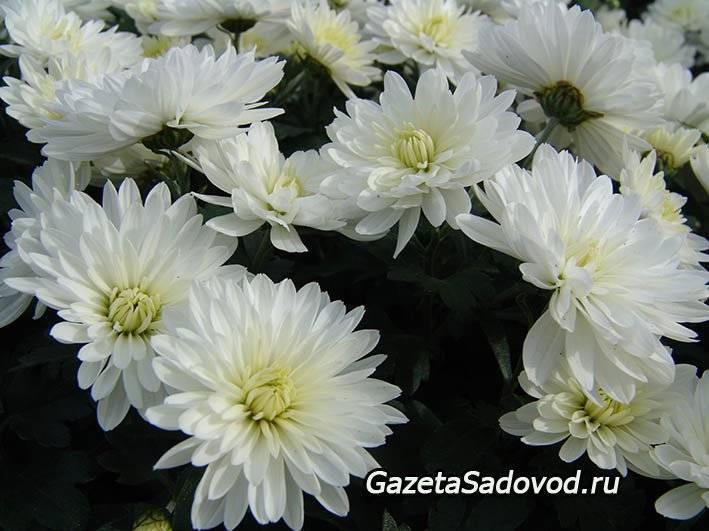 О хризантеме (как выглядит цветок, многолетнее или однолетнее растение)