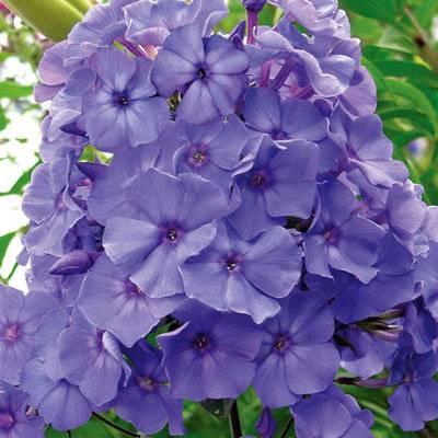 Флокс блю парадайз (blue paradise)