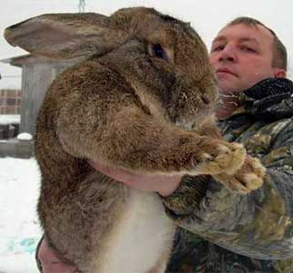 Порода кроликов ризен: описание и содержание