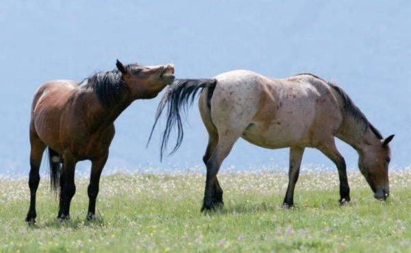 Как спариваются лошади: естественная и искусственная случка