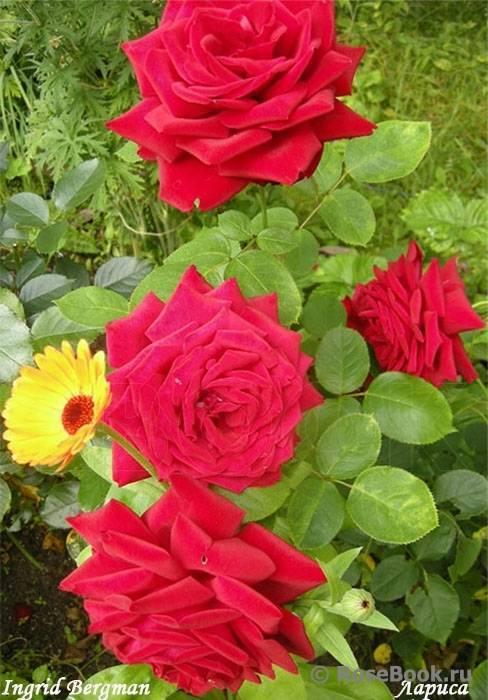 О розе хай мэджик (high magic): описание и характеристики чайно гибридной розы