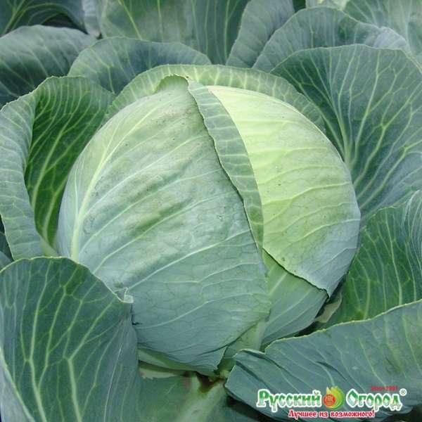 Описание сорта капусты колобок — выращивание двумя способами