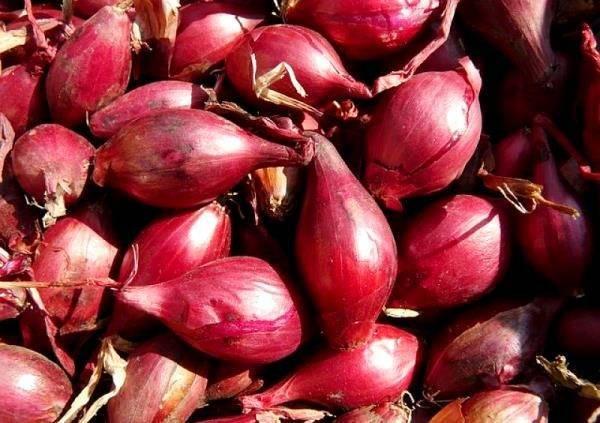 Характеристика и правила выращивания красного лука. описание лучших сортов