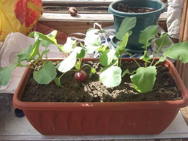 Выращиваем вкусную и здоровую редиску в открытом грунте