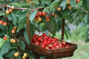 Вишня: описание 20 лучших сортов, характеристики и отзывы садоводов | (фото & видео)