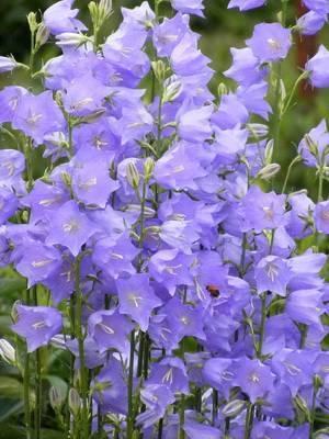 Выращивание многолетнего колокольчика: виды и фото цветов
