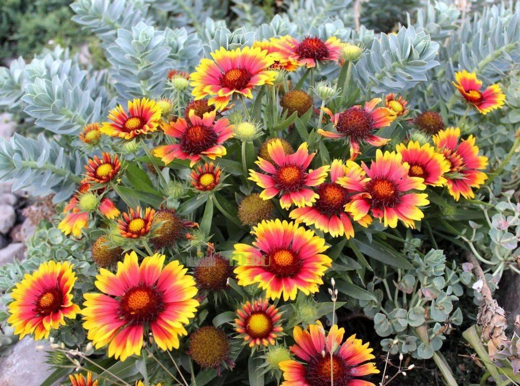 Выращивание гайлардии из семян, посадка и уход в открытом грунте, фото цветка