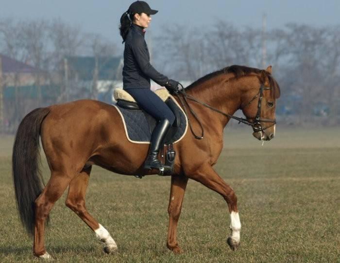 Буденновская порода лошадей: особенности и характеристика