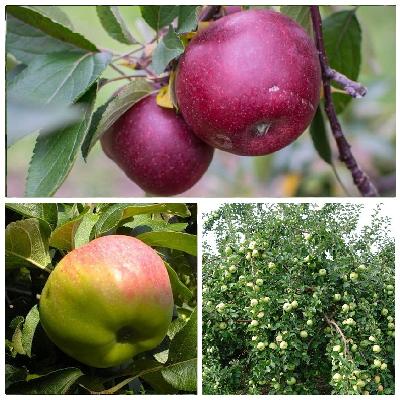 Яблоня богатырь: фото и описание сорта