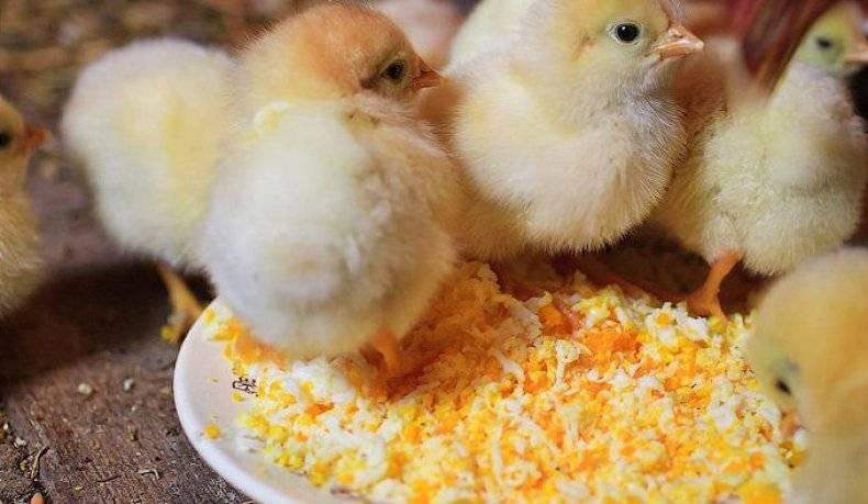 Симптомы и лечение кокцидиоза в домашних условиях у цыплят, бройлеров, кур