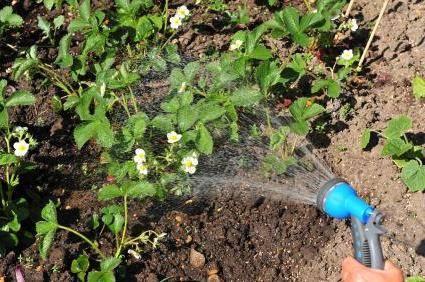 Полив клубники во время плодоношения: 5 правил, без которых хорошего урожая не будет