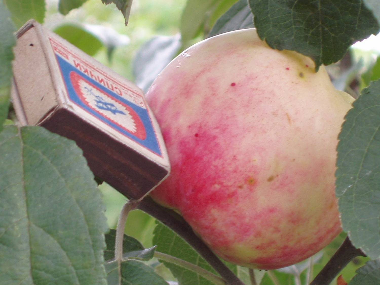 Яблоня солнцедар: особенности сорта и ухода
