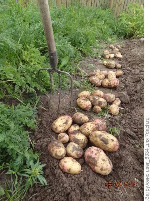 Как сажать картофель, полив, проращивание, способы посадки