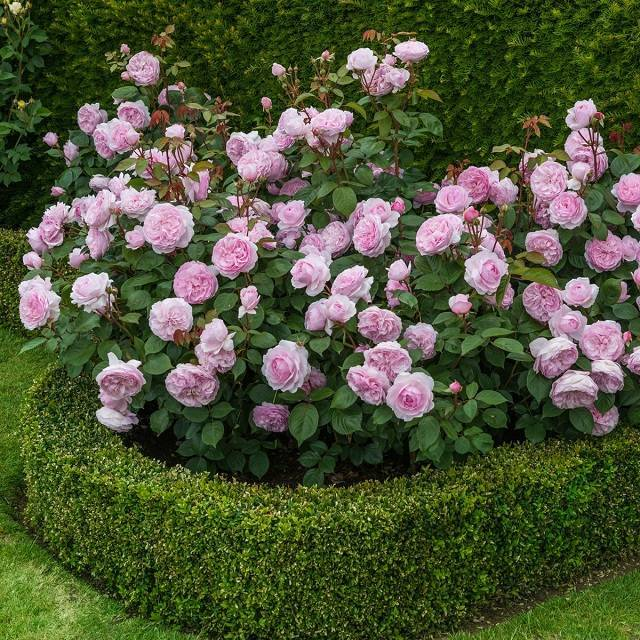 Роза боскобель